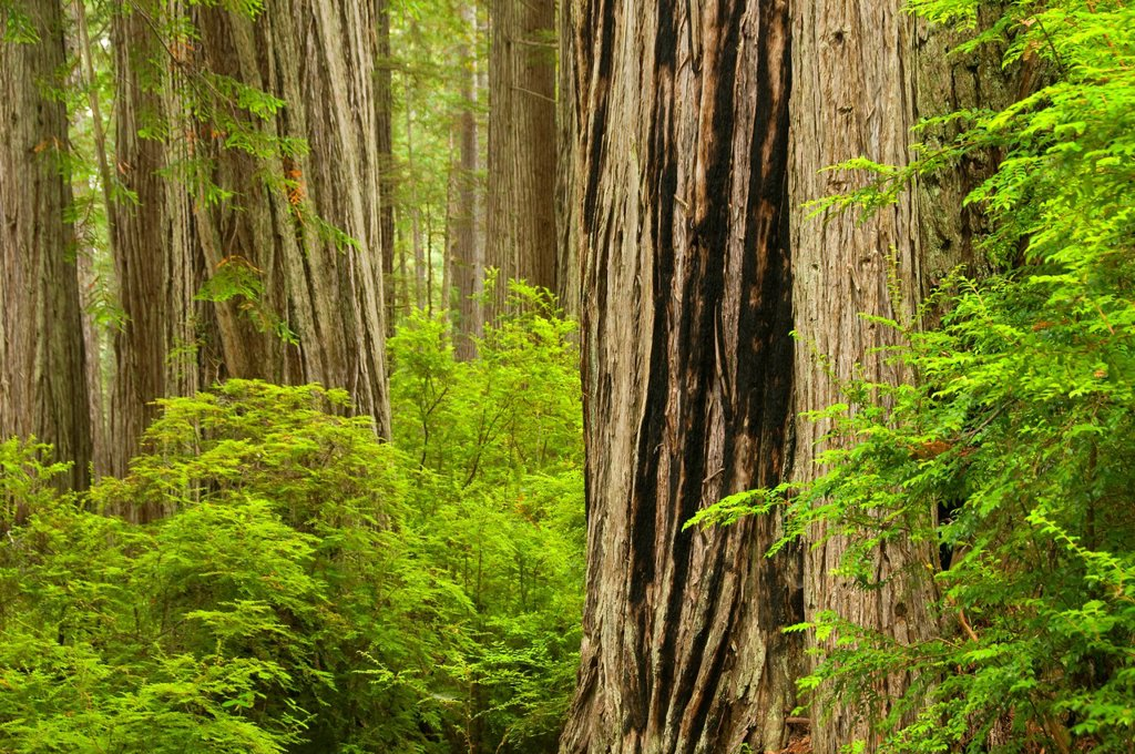 Stock Photo: 1566-926170 Coast redwood forest along James Irvine Trail, Prairie Creek Redwoods State Park, Redwood National Park, California