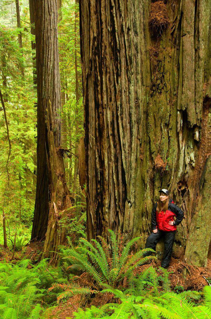 Stock Photo: 1566-926174 Coast redwood on James Irvine Trail, Prairie Creek Redwoods State Park, Redwood National Park, California