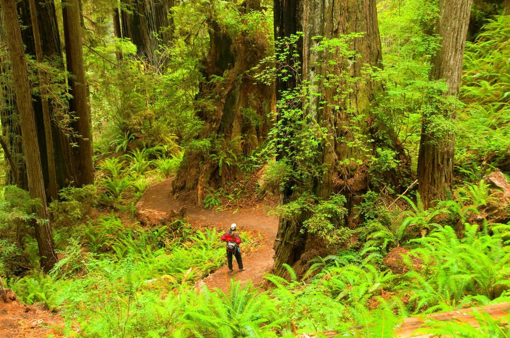 Coast redwood forest along James Irvine Trail, Prairie Creek Redwoods State Park, Redwood National Park, California : Stock Photo