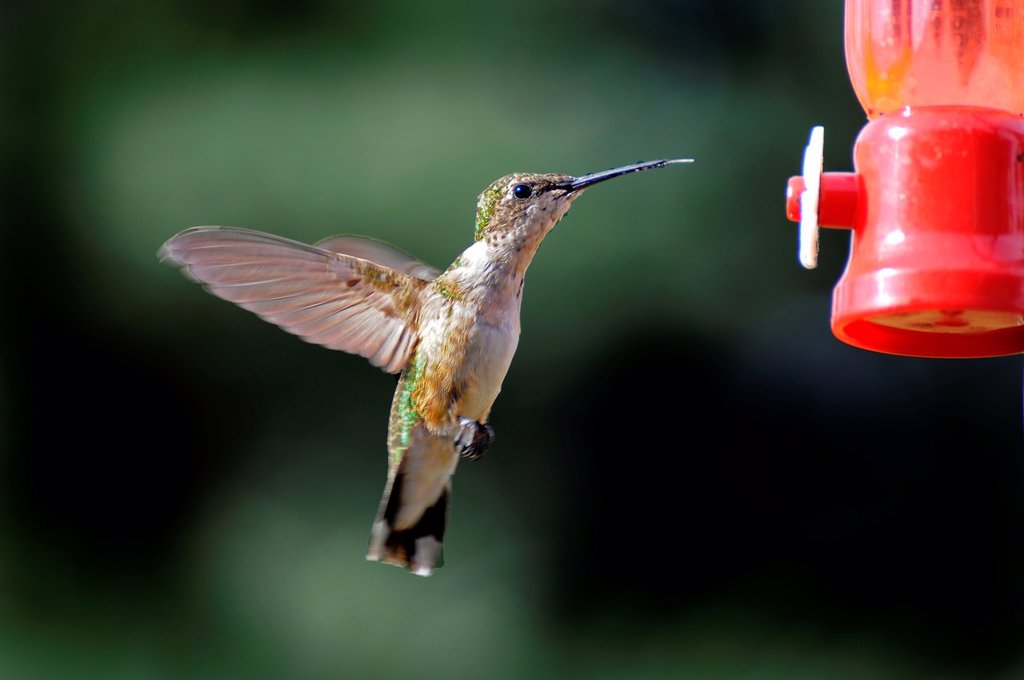 Hummingbird in flight at a feeder : Stock Photo