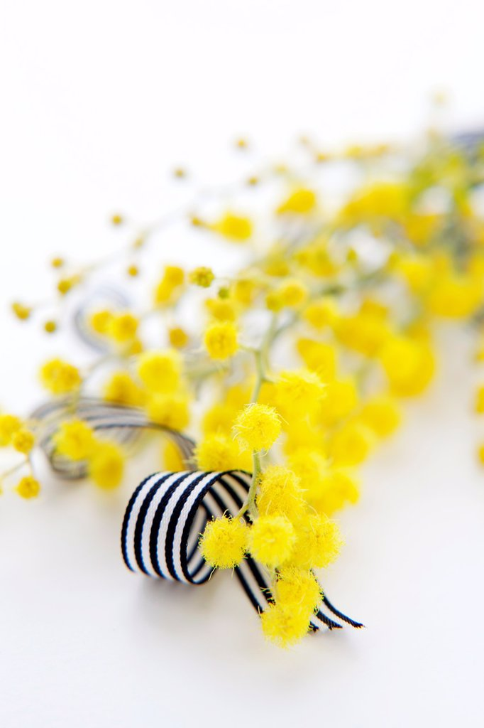 Yellow Mimosa and black and white ribbon : Stock Photo