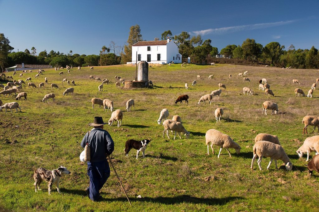Stock Photo: 1566-928231 sheep and seepherd  Beas  Huelva-province  Spain