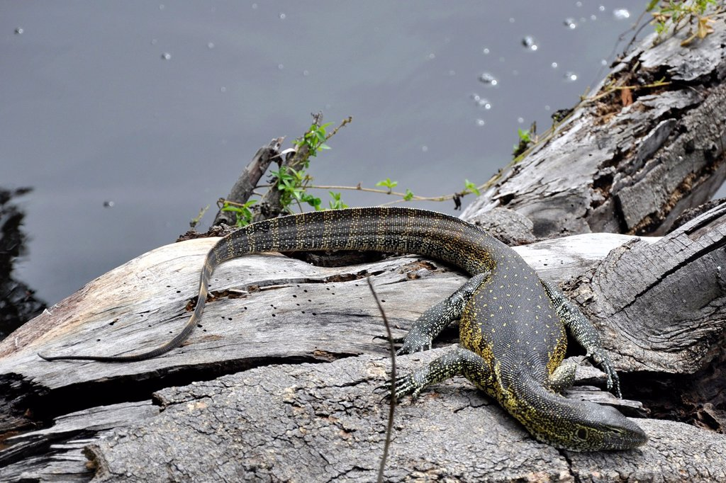 Stock Photo: 1566-928904 reptile, Okawango delta, Botswana