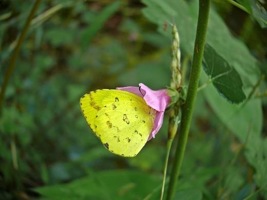 Sleepy Yellow butterfly, Eurema nicippe : Stock Photo