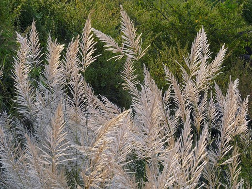 Saccharum spontaneum, Kans grass : Stock Photo