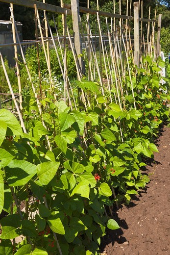 Runner beans growing on Allotment : Stock Photo