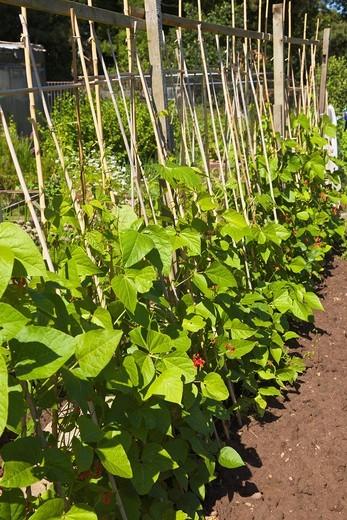 Stock Photo: 1566-929809 Runner beans growing on Allotment