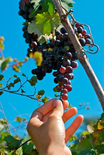 Stock Photo: 1566-931274 Female hand picking grapes from a tree in San Carlos, ibiza, Spain