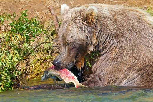 Stock Photo: 1566-932865 Alaska , Katmai National Park and Preserve , Grizzly bear  Ursus arctos horribilis  , order : carnivora ,family : ursidae ,