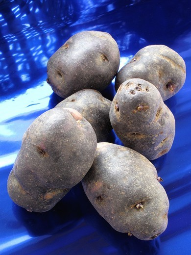 Stock Photo: 1566-933084 Blue potatoes