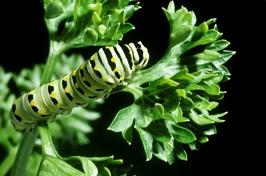 Caterpillar of eastern black swallowtail butterfly, Papilio polyxenes, on a leaf of parsley : Stock Photo