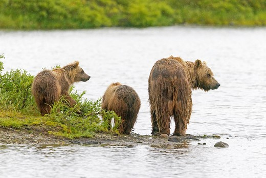 Stock Photo: 1566-933566 Alaska , Katmai National Park and Preserve , Grizzly bear  Ursus arctos horribilis  , order : carnivora ,family : ursidae ,