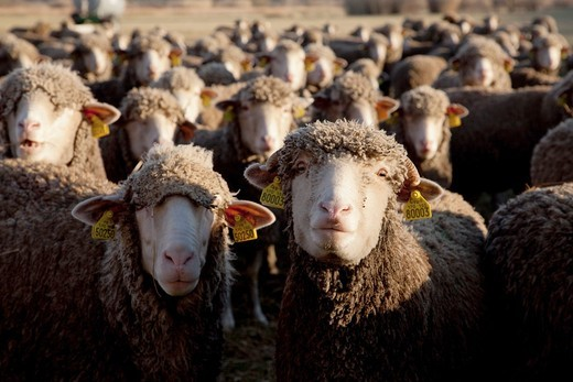Stock Photo: 1566-933794 many sheep foreground looking at camera, , , Fontvieille France