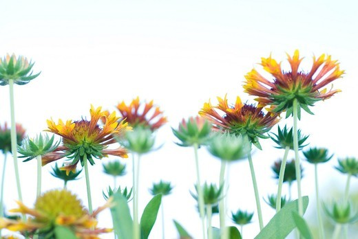 Stock Photo: 1566-934356 Flowers in Fort Collins, Colorado, USA