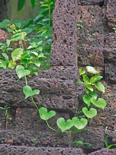 Tinospora cordifolia, giloi plant used for Swine flu prevention : Stock Photo
