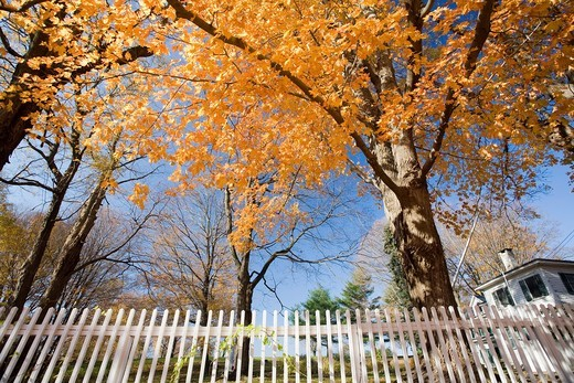 Stock Photo: 1566-936897 Maple tree and white fence, CT, USA