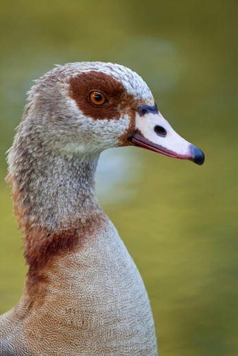 Stock Photo: 1566-936939 Egyptian Goose Alopochen aegyptiacus, portrait, Trier, Germany
