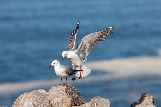 Stock Photo: 1566-937047 Hartlaub´s Gull or king Gull, larus hartlaubii, Adult in Flight, Landing on Rocks, Hermanus in South Africa