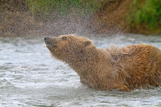 Alaska , Katmai National Park and Preserve , Grizzly bear  Ursus arctos horribilis  , order : carnivora ,family : ursidae , : Stock Photo