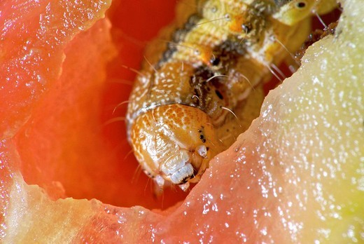 Stock Photo: 1566-940735 Tomato caterpillar, HELIOTHIS SP. eating a inside a tomato. North of Spain