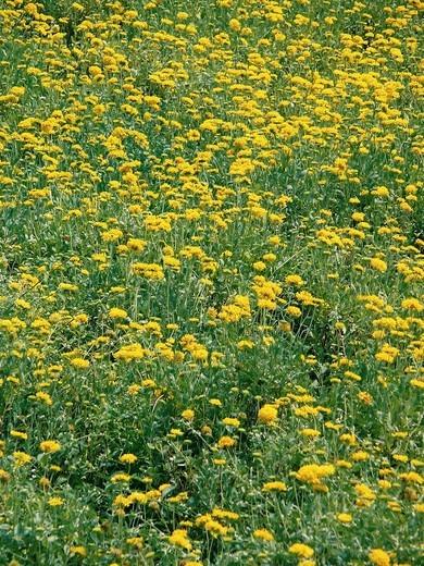 Stock Photo: 1566-941534 Field of Calendula officinalis flowers, Calendula officinalis L, pot marigold