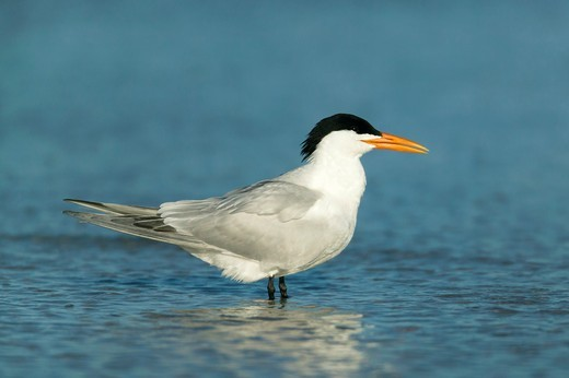 Royal Tern Sterna maxima standing in shallow water at Fort Desoto Park, Tierra Verde, Florida, USA : Stock Photo