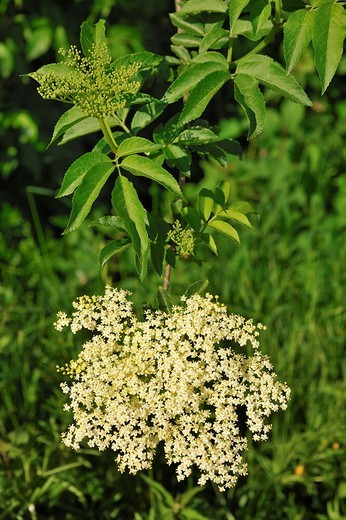 Sambucus racemosa : Stock Photo
