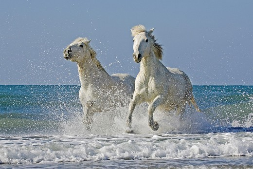 Camargue Horses Galloping on the Beach, Saintes Marie de la Mer in the South of France : Stock Photo