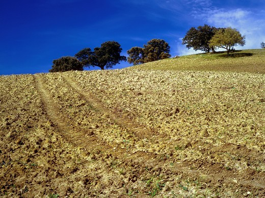 Olive tree in ploughed field Andalucia Spain : Stock Photo
