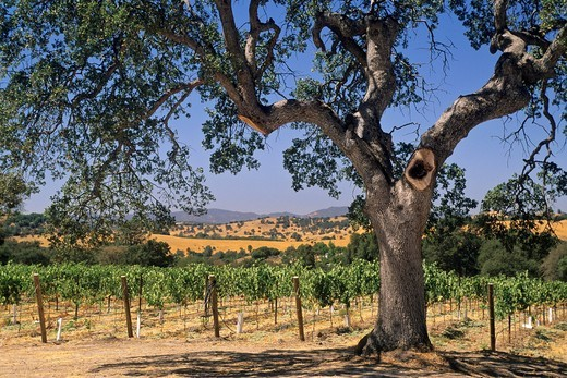 Stock Photo: 1566-943085 Oak Tree at Twisted Oak Winery Murphys, Calaveras County, California