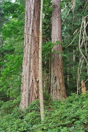 Stock Photo: 1566-947815 Douglas firs, Pseudotsuga menziesii, Newcastle Island, Nanaimo, British Columbia, Canada