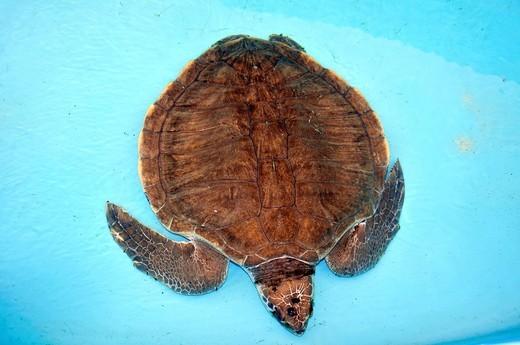 Stock Photo: 1566-948440 Olive Ridley Turtle, Lepidochelys olivacea, Projeto Tamar, Florianopolis, Santa Catarina, Brazil.