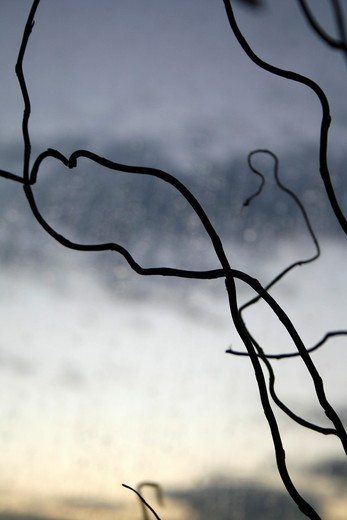 Stock Photo: 1566-949478 pattern of bare tree branches and white clouds