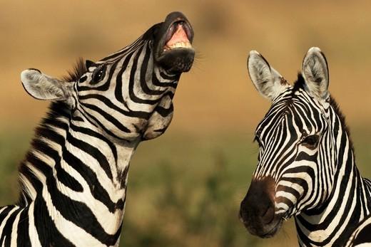 Burchell´s Zebra (Equus burchelli), Maasai Mara National Reserve, Kenya : Stock Photo