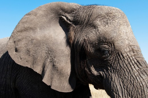 Stock Photo: 1566-951187 Elephant Loxodonta africana, Abu Camp, Okavango Delta, Botswana