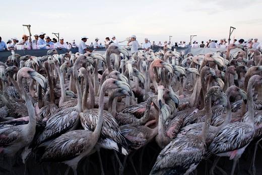 Stock Photo: 1566-951238 Putting rings and taking measures of flamingos, Reserva de la Biosfera Ria Lagartos, Punta Mecoh, Quintana Roo, Mexico