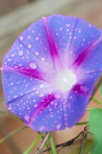 Stock Photo: 1566-952236 A blue Morning Glory covered in raindrops