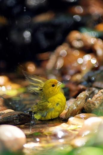 Stock Photo: 1566-953099 Male Saffron Finch Sicalis flaveola, Buenos Aires province, Argentina