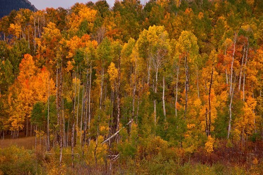 Fall color along the Last Dollar Road in Colorado : Stock Photo