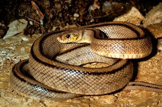 Ladder Snake, elaphe scalaris, Adult : Stock Photo