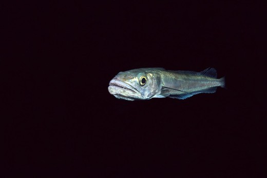 Hake (Merluccius merluccius), Eastern Atlantic, Galicia, Spain : Stock Photo