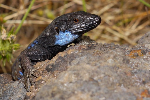 La Palma lizard, Sizeable lizard, Wall lizard, Lagarto Tizón, Gallotia galloti palmae, Male lizard, Lacertidae, Caldera de Taburiente National Park, Biosphere Reserve, ZEPA, LIC, La Palma, Canary Islands, Spain, Europe : Stock Photo