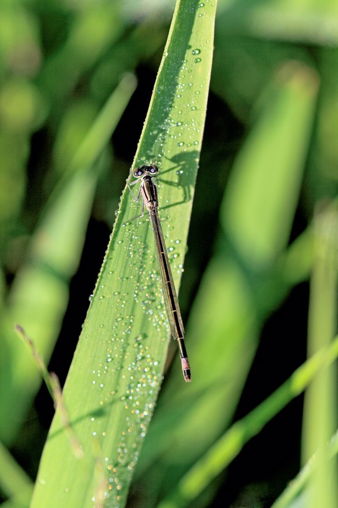 Stock Photo: 1566-960257 Blue-tailed Damselfly, Ischnura elegans  Female  Unusual brown variant