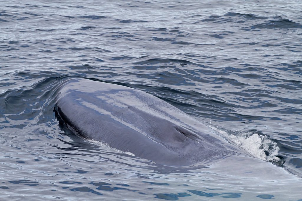 A very rare sighting of an adult blue Whale Balaenoptera musculus surfacing off the northwestern side of Spitsbergen Island in the Svalbard Archipelago, Barents Sea, Norway : Stock Photo