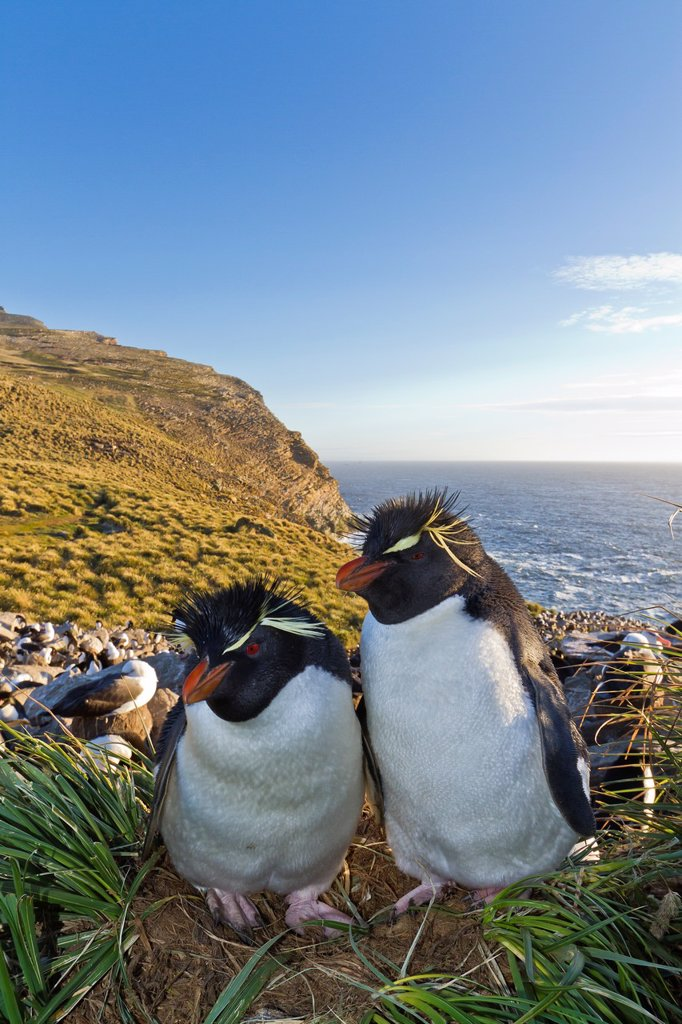 Stock Photo: 1566-960452 Adult southern rockhopper penguin Eudyptes chrysocome chrysocome pair at breeding and molting colony on West Point Island in the Falkland Islands, South Atlantic Ocean