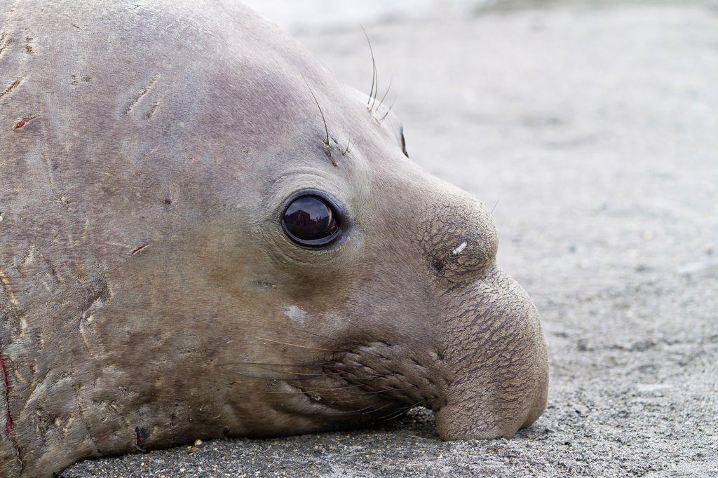 Stock Photo: 1566-960472 Young adult bull southern elephant seal Mirounga leonina close up at breeding site at Moltke Harbor on South Georgia Island in the Southern Ocean