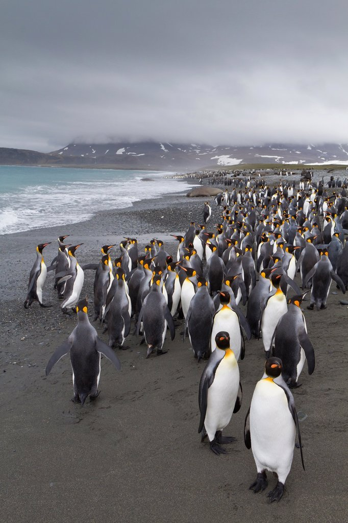 Stock Photo: 1566-961137 Adult king penguins Aptenodytes patagonicus returning from sea to the nesting and breeding colony at Salisbury Plain on South Georgia Island, Southern Ocean