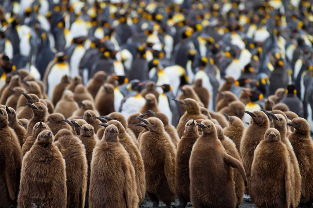 Stock Photo: 1566-961155 Adult king penguins Aptenodytes patagonicus amongst chicks called ´okum boys´ at nesting and breeding colony at Gold Harbour on South Georgia Island, Southern Ocean