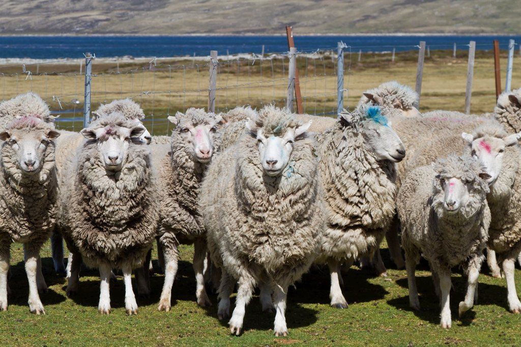 Stock Photo: 1566-961223 Culling sheep for their wool at Long Island Farm outside Stanley in the Falkland Islands, South Atlantic Ocean