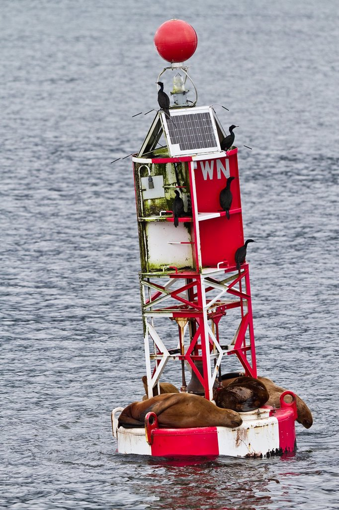 Stock Photo: 1566-961903 Northern Steller sea lions Eumetopias jubatus hauled out on the WN buoy just outside Petersburg, Southeastern Alaska, USA, Pacific Ocean